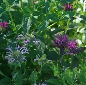 Bergamot, Mixed (Monarda fistulosa) packet of 30 seeds, organic