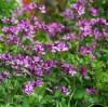 Moonwort (Lunaria biennis), packet of 10 seeds, organic