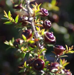 Tea Tree, New Zealand (Leptospermum scopari), packet of 50 seeds