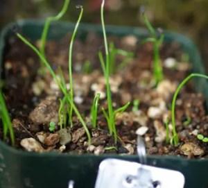 Onion, China Green (Allium fistulosum), packet of 50 seeds, organic