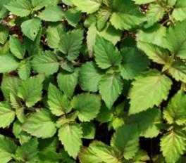 Patchouli, Java (Pogostemon heyneanus), packet of 100 seeds
