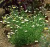 Pellitory (Anacyclus pyrethrum), packet of 50 seeds, organic