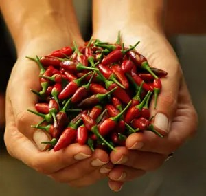 Pepper, Pong Sri Thai (Capsicum frutescens) packet of 30 seeds, Organic