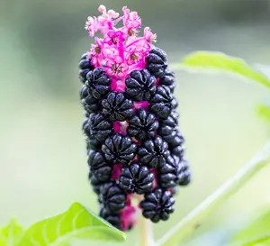 Poke, Tibetan (Phytolacca acinosa) packet of 30 seeds