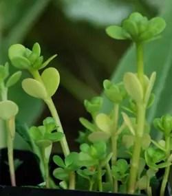 Purslane, Golden (Portulaca oleracea), packet of 200 seeds, organic