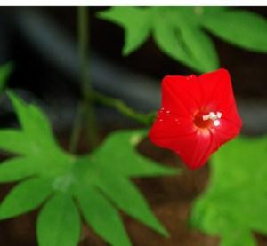 Quamoclit (Ipomoea quamoclit), packet of 5 seeds, organic [AZ, AR NO]