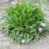 Rampion [RAPUNZEL] (Campanula rapunculus), packet of 100 seeds, organic