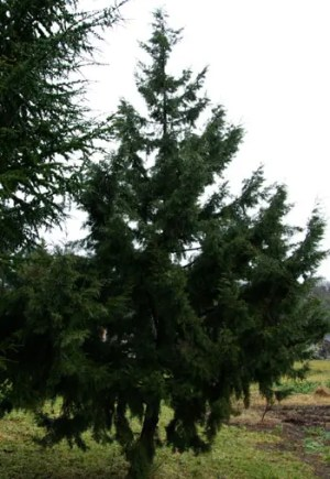 Eastern Red Cedar (Juniperus virginiana), packet of 20 seeds