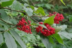Elderberry, Red (Sambucus racemosa), packet of 50 seeds
