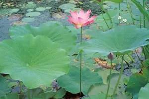 Lotus, Sacred Red (Nelumbo nucifera), packet of 7 seeds