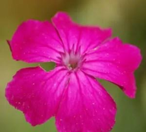 Rose Campion (Lychnis coronaria), packet of 50 seeds, organic