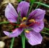 Saffron, Holy Live Bulbs, bag of 6, Organic