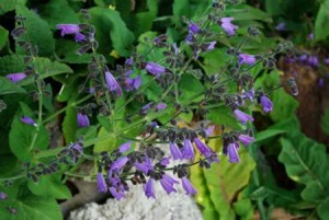 Sage, Kashmir (Salvia hians), packet of 10 seeds