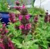 Sage Set (8 seed packets): Black, Clary, Dan Shen (S. miltiorrhiza), Garden, Scarlet, Pitcher, Purple & White [WA NO]