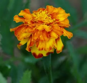 Marigold, French (Tagetes Patula), packet of 50 seeds, organic
