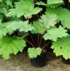 Rhubarb, Turkey (Rheum palmatum tanguticum), packet of 10 seeds