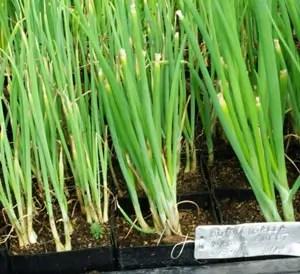 Onions, Walla Walla Sweet (Allium cepa), packet of 100 seeds, organic