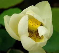 Lotus, Sacred White (Nelumbo nucifera), packet of 7 seeds