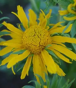 Yerba del Lobo (Helenium hoopesii), packet of 50 seeds