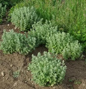 Zaatar (Origanum syriacum), packet of 50 seeds, organic