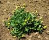 Spilanthes, Brede mafane (Acmella alba), packet of 100 seeds, organic