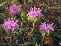 Bergamot, Lavender (Monarda fistulosa), packet of 100 seeds