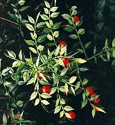 Butcher's Broom (Ruscus aculeatus), packet of 10 seeds