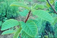Cascara Sagrada (Rhamnus purshiana) potted tree, organic