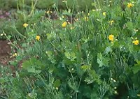 Celandine (Chelidonium majus), packet of 50 seeds, organic