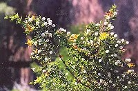 Chaparral (Larrea tridentata), packet of 50 seeds