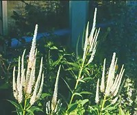 Culvers Root (Veronicastrum virginicum), packet of 100 seeds, organic
