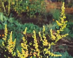 Epazote (Chenopodium ambrosioides), packet of 300 seeds, organic