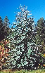 Eucalyptus, Tasmanian Blue Gum (Eucalyptus globulus), packet of 50 seeds