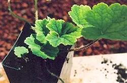 Fringecup (Tellima grandiflora), packet of 100 seeds, organic