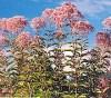 Gravel Root (Eupatorium purpureum), packet of 50 seeds, organic