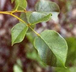Licorice, Chinese (Glycyrrhiza uralensis), packet of 30 seeds