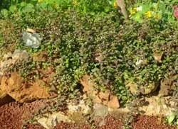 Mint, Mayan (Lippia dulcis), packet of 30 seeds, organic