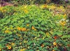 Nasturtium, Jewels (Tropaeolum majus), packet of 15 seeds, organic