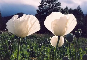 Poppy, Peshawar (Papaver somniferum var. album), packet of 300 seeds, organic