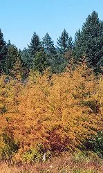 Artemisia annua, packet of 200 seeds, organic