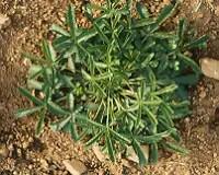 Tormentil (Potentilla tormentilla), packet of 100 seeds, organic [WA NO]