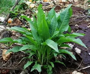 Dock, Yellow (Rumex crispus), packet of 100 seeds, organic