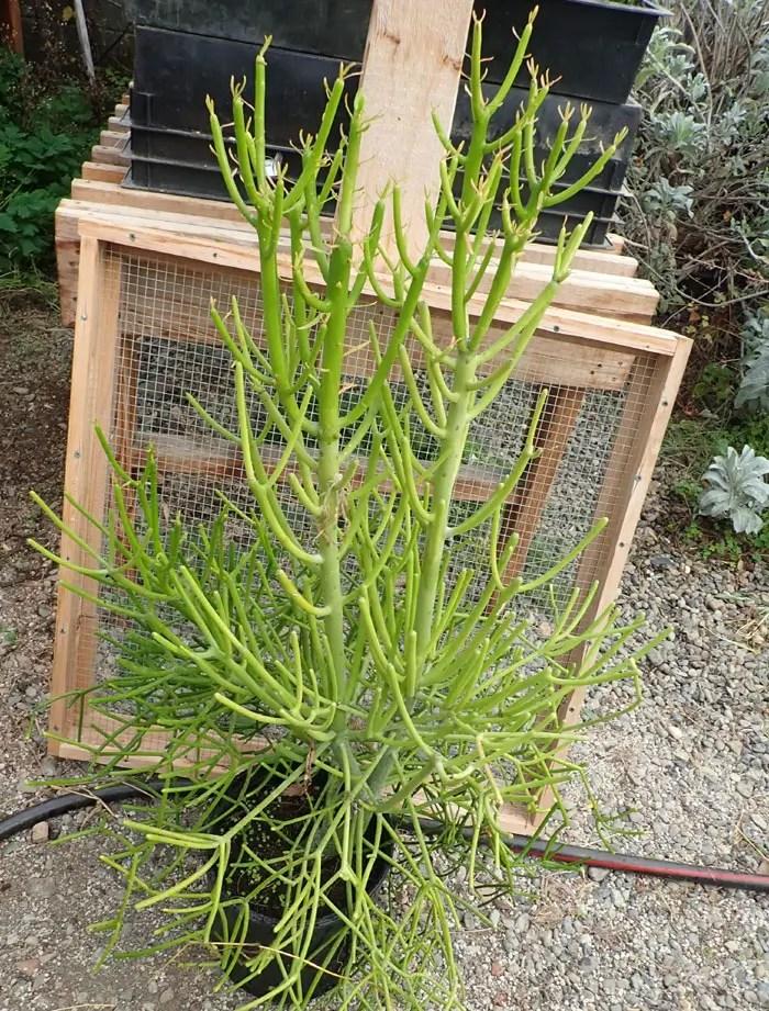 Pencil Tree Euphorbia Tirucalli Potted Tree 3 Gallon Show Plant