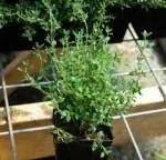 Medicinal_Herb_Plants_R_Z