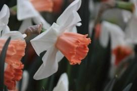 Daffodil?