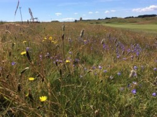 Carnoustie Golf Club-wildflowers-rough