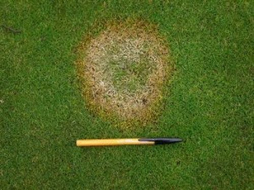 Fusarium-patch