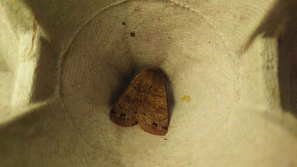 Twin-spotted quaker moth at John O'Gaunt Golf Club