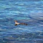 Ducks Swimming in Lake Tahoe