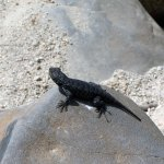 Lizard Hanging out on a Rock